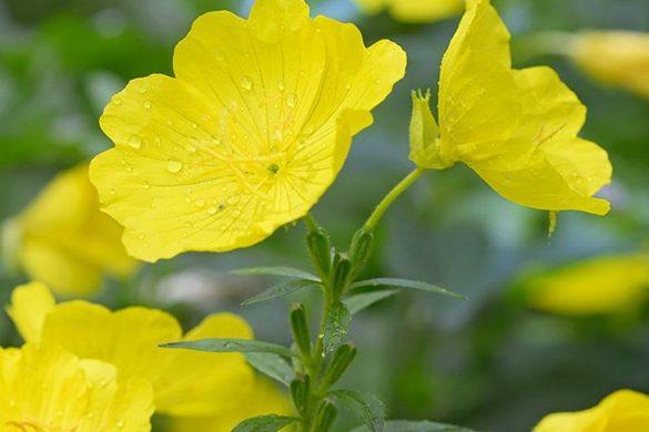 Çuha Çiçeği Yağı Ne İşe Yarar? Faydaları Nedir? Nasıl Kullanılır?