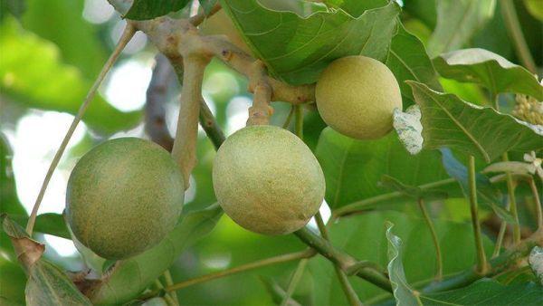 Kukui Nut Candlenut Nedir Neye iyi Gelir