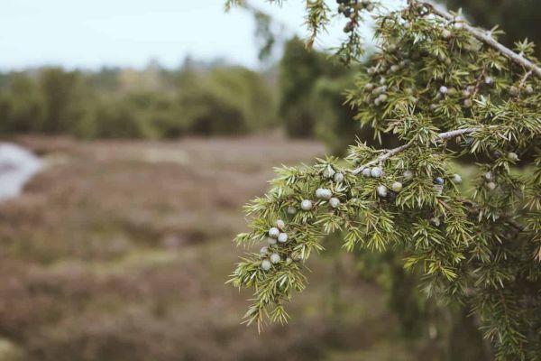 ardıç ağacının özellikleri neye iyi gelir