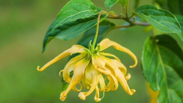 Ylang Ylang yağı çiçeği nedir